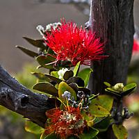Lehue flower, Kilauea Crater, Hawaii