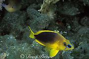 shy hamlet, <br /> Hypoplectrus guttavarius, <br /> Bahamas ( Western Atlantic Ocean )