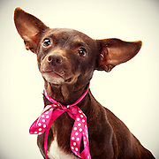 Chocolate brown chihuahua finds new forever home.