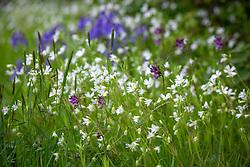 Greater Stitchwort, Bush Vetch, Sweet Vernal grass and bluebells. Stellaria holostea, Vicia sepium, Anthoxanthum odoratum and Hyacinthoides non-scripta