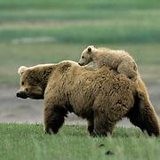 Alaskan Brown Bear, (Ursus middendorffi) Mother shakes to get cub off her back, Katmai National Park, Alaska.
