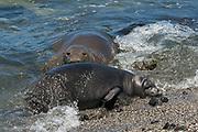 Hawaiian monk seal, Neomonachus schauinslandi, formerly Neomonachus schauinslandi ( Critically Endangered, endemic species ), 8-9 year old female RI25 / I26, with 6 week old pup, RN02 / N03 or Kamilo, Kaiole Bay, near Kamilo Point, Ka'u, Hawaii ( the Big Island )