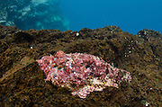 Stone Scorpionfish (Scorpaena plumeri mystes)<br /> GALAPAGOS ISLANDS,<br /> Ecuador, South America