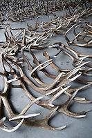 Red deer antlers (Cervus elaphus) collected for statisical analysis of health of deer stags at Oostvaardersplassen, Netherlands. Mission: Oostervaardersplassen, Netherland, June 2009.
