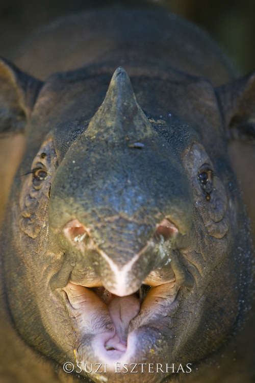 Sumatran Rhinoceros <br /> Dicerorhinus sumatrensis<br /> Eating fruit in captive breeding enclosure<br /> Sumatran Rhino Sanctuary, Way Kambas National Park, Indonesia<br /> *Critically Endangered<br /> *Captive