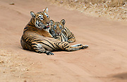 Female tiger Maya and one of her six months old cubs. Tadoba NP, India, February 2016.