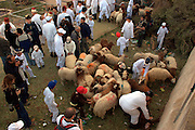 Israel, West Bank, Mount Gerizim, Samaritan Passover Sacrifice ceremony The Sacrificed Sheep