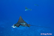 schooling spotted eagle rays, Aetobatus narinari, scars on back of foreground ray may be from bites by males during mating attempts, Ice Cream bommie, Saipan, Commonwealth of Northern Mariana Islands, Micronesia ( Western Pacific Ocean )