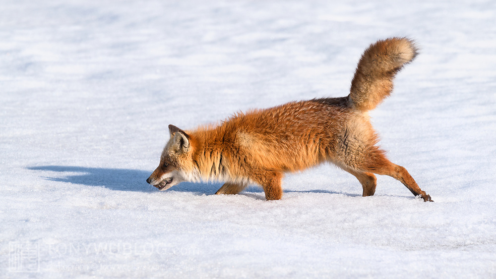 This is an Ezo red fox (Vulpes vulpes schrencki), called Kita Kitsune in Japanese, carrying a vole (Myodes sp.) that it caught in an area of exposed grass. At the time of this photo, the snow had just begun to melt, creating a patchwork of exposed terrain.