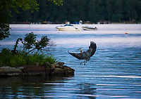A blue heron comes in for a landing at Indian Island in Meredith Bay.  (Karen Bobotas Photographer)