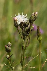 Zaagblad, Serratula tinctoria