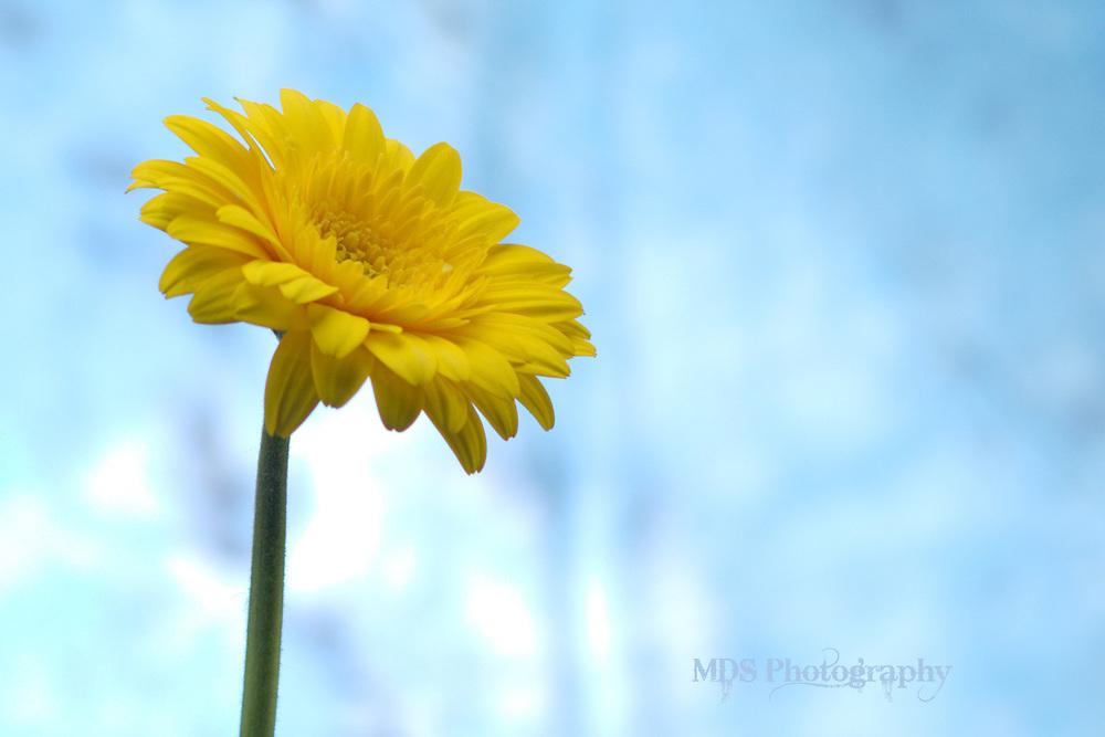 Yellow daisy blue background