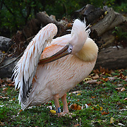 flamingo at ZSL London Zoo on 25 October 2018.
