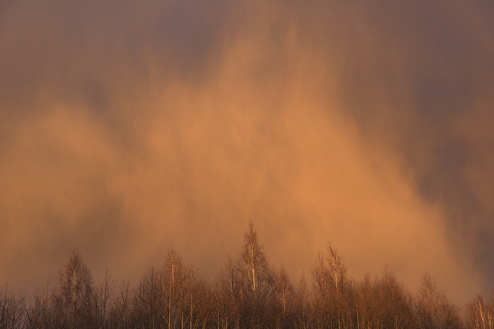 Sunlight from sunset shines over birch tops with bark blue clouds and falling snow over them, near Aloja, Latvia Ⓒ Davis Ulands | davisulands.com