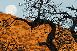 Craggy tree silhouetted against hillside and full moon, Ladder Ranch, west of Truth or Consequences, New Mexico, USA.