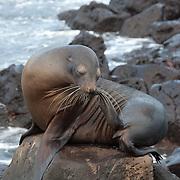 Galapagos Sea Lion (Zalophus californianus) on the rocks at waters edge. Galapagos, Ecuador.