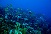 School of schoolmasters and mahogany snappers in Belize.