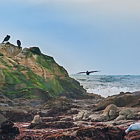 Cormorants rest on a rock near Pescadero, California as Pacific Ocean surf pounds behind them. A harbor seal sleeps in the foreground.
