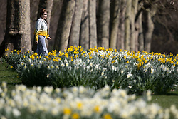 © Licensed to London News Pictures. 22/03/2021. London, UK. A woman walks through daffodils in a sunny St James' Park in central London. Warm and sunny conditions are expected to continue into the afternoon in parts of London and South East England. Photo credit: George Cracknell Wright/LNP