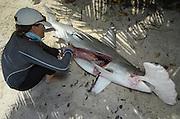 Great Hammerhead shark (Sphryna mokarran) Dissection<br /> MAR Alliance<br /> Lighthouse Reef Atoll<br /> Belize<br /> Central America<br /> ENDANGERED SPECIES
