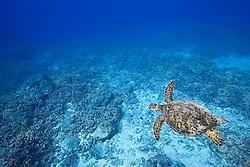 Green Sea Turtle, Chelonia mydas, swimming over coral reef, endangered species, off Kona Coast, Big Island, Hawaii, Pacific Ocean