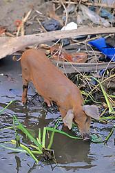 Pig Feeding On San Jose Waterway