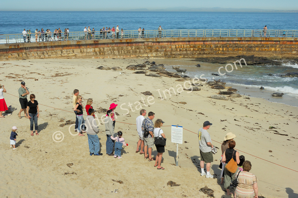 Visitors watch the Harbor Seals from the beach and Childrens Pool sea wall.    <br /> <br /> Harbor searls are an earless seal and enjoy hauling out and basking in the sun. Can remain submerged for nearly 30 minutes.<br /> <br /> They spend about half their time on land and half in water sometimes sleeping in the water.<br /> <br /> Range: Alaska to California Coast <br /> <br /> Species: Phoca vitulina
