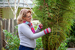 Protecting a tree fern for overwintering. Covering the crown with straw or hay then wrapping up the fronds