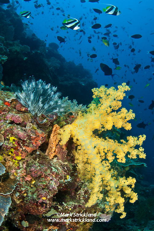 A trio of bannerfish and various other schooling fish gather on a steep dropoff, accented by a crinoid and colorful Dendronepthya soft coral. Apo Reef, Sulu Sea, Philippiines, Pacific Ocean