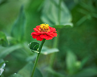 Zinnia Flower. Image taken with a Leica SL2 camera and 90-280 mm lens.