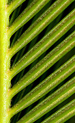 Close up abstract of the leaves of a Japanese sago palm (Cycas revoluta) growing in a Norfolk garden conservatory