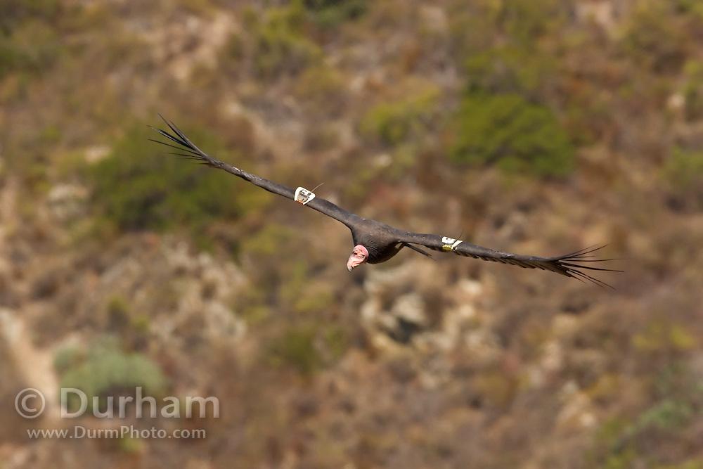 A California Condor (Gymnogyps californianus) along the Big Sur coast, California.