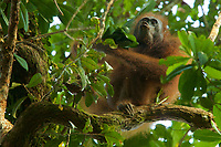 """Bornean Orangutan - """"wurmbii"""" subspecies<br />(Pongo pygmaeus wurmbii)<br /><br />Cabang Panti Research Station<br />Gunung Palung National Park<br />West Kalimantan, Indonesia<br />Borneo Island<br /><br />Unknown Female = FEM 15<br />Sequence performing kiss squeak call on leaves in hand"""
