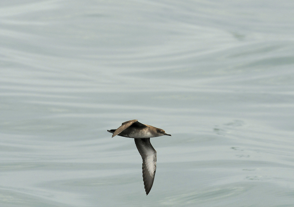 Balearic Shearwater - Puffinus mauretanicus