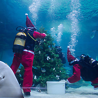 Scuba divers install a Christmas Tree underwater in an aquarium displaying sharks in Santa Claus costume as part of their christmas celebration in Budapest, Hungary on December 06, 2012. ATTILA VOLGYI