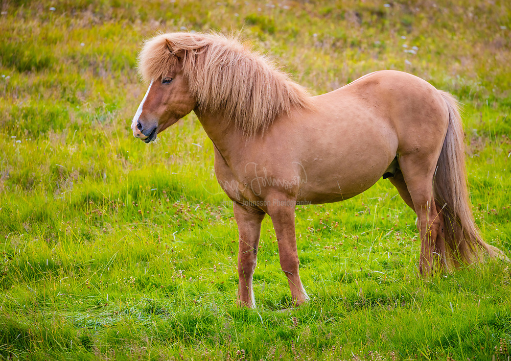 The Icelandic horse is a breed of horse developed in Iceland. Although the horses are small, at times pony-sized, most registries for the Icelandic refer to it as a horse. Icelandic horses are long-lived and hardy. In their native country they have few diseases; Icelandic law prevents horses from being imported into the country and exported animals are not allowed to return. The Icelandic displays two gaits in addition to the typical walk, trot, and canter/gallop commonly displayed by other breeds. The only breed of horse in Iceland, they are also popular internationally, and sizable populations exist in Europe and North America. The breed is still used for traditional sheepherding work in its native country, as well as for leisure, showing, and racing.<br /> <br /> Developed from ponies taken to Iceland by Norse settlers in the 9th and 10th centuries, the breed is mentioned in literature and historical records throughout Icelandic history; the first reference to a named horse appears in the 12th century. Horses were venerated in Norse mythology, a custom brought to Iceland by the country's earliest settlers. Selective breeding over the centuries has developed the breed into its current form. Natural selection has also played a role, as the harsh Icelandic climate eliminated many horses through cold and starvation. In the 1780s, much of the breed was wiped out in the aftermath of a volcanic eruption at Laki. The first breed society for the Icelandic horse was created in Iceland in 1904, and today the breed is represented by organizations in 19 different nations, organized under a parent association, the International Federation of Icelandic Horse Associations.