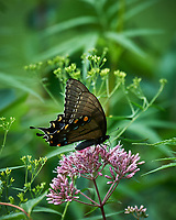 Black Swallowtail Butterfly on Joe Pye's Weed. Image taken with a Nikon D4 camera and 80-400 mm VR lens.
