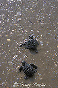 Kemp's ridley sea turtle hatchlings, <br /> Lepidochelys kempii ( Endangered Species ),<br /> enter the ocean,Rancho Nuevo Mexico<br /> ( Gulf of Mexico )