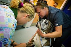 Boxer dog being sedated at Rushcliffe Veterinary Surgery, Nottingham, UK.
