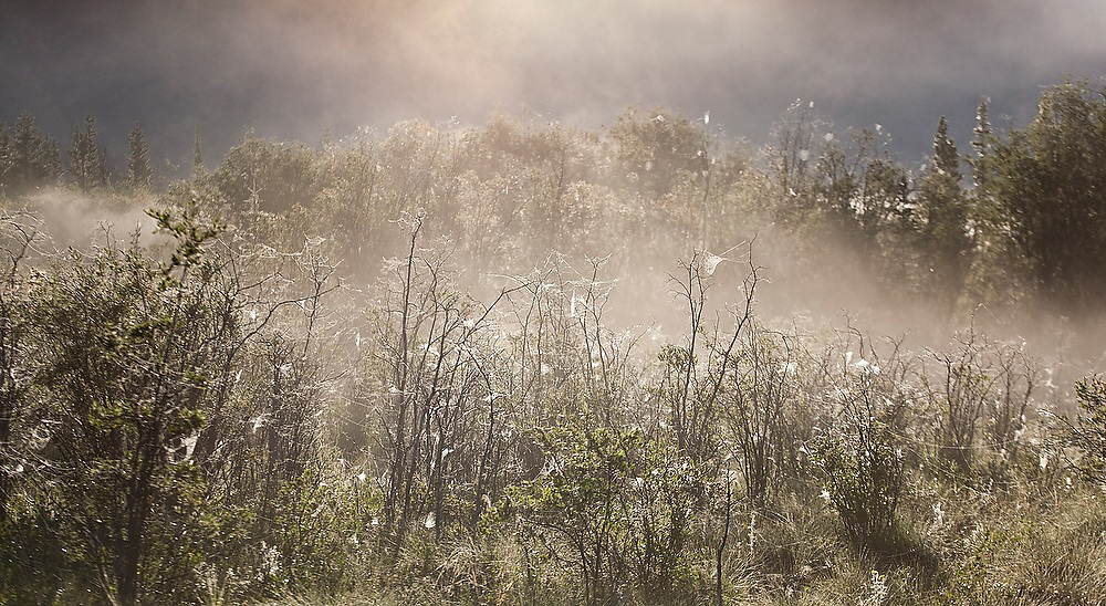 Shrubs covered in spiderwebs heavy with dew drops are backlit at dawn along the McCarthy road into Wrangell-St. Elias National Park, Alaska.