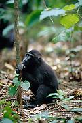 In the midday heat the black apes rests themselves. | In der Mittagshitze ruhen sich die Schopfmakaken etwas aus.