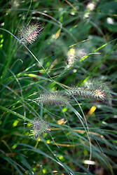 Pennisetum alopecuroides 'Hameln'<br /> Chinese fountain grass.