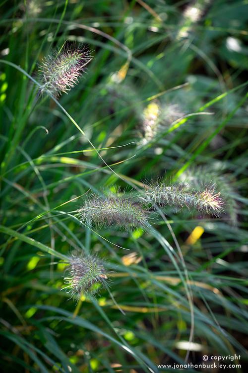 Pennisetum alopecuroides 'Hameln'<br /> Chinese fountain grass.