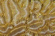 Maze Coral (Meandrina meandrites)<br /> BONAIRE, Netherlands Antilles, Caribbean<br /> HABITAT & DISTRIBUTION: Shallow & mid-range coral reefs, walls and rocky areas. <br /> Florida, Bahamas & Caribbean.