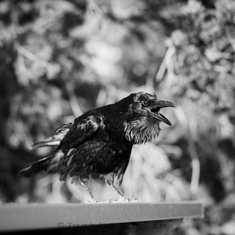 Raven in Grand Canyon National Park, AZ.