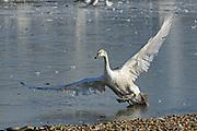 Mute Swan (Cygnus olor) juvenile walking on ice, wings outstretched, Slimbridge, UK
