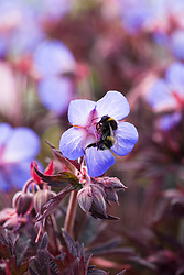 Geranium pratense 'Midnight Reiter' with bee