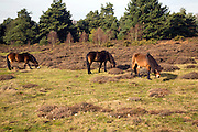 Exmoor ponies used for conservation grazing on heathland of the Suffolk Sandlings near Shottisham, England