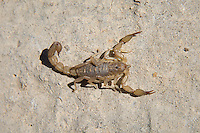 Top view of the lesser striped scorpion (Hoffmannius coahuilae). I found this and about seven or eight others under rocks in the Guadalupe Mountains in Northwestern Texas.