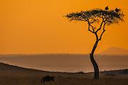 An acacia tree with a pair of vultures stands alone at sunset in the Masai Mara ,Masai Mara, Kenya,Africa